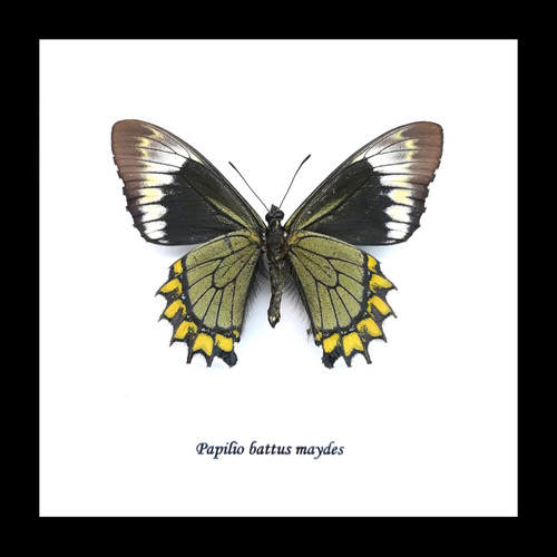 Papilio battus madyes