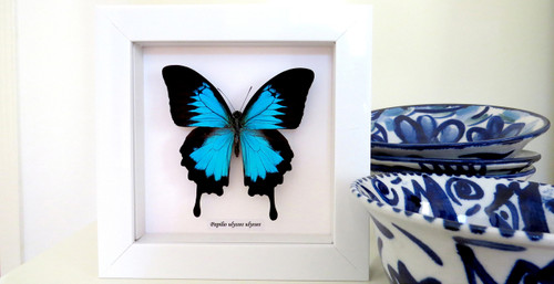 Papilio ulysses in white frame Bits&Bugs