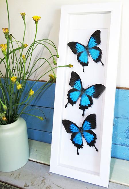 Papilio ulysses Bits & Bugs