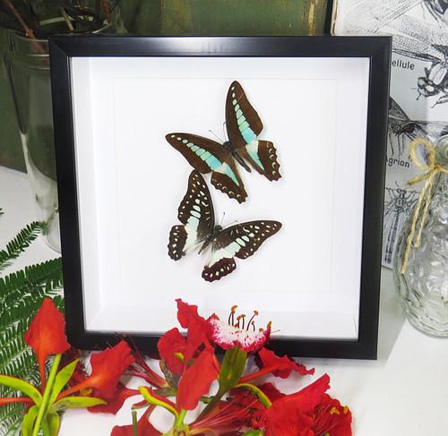 graphium sarpedon graphium euryplus australian butterflies
