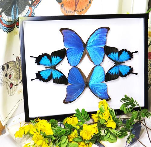 Morpho amathonte + Papilio ulysses