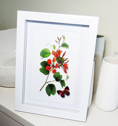 Botanical Callicore cynosura