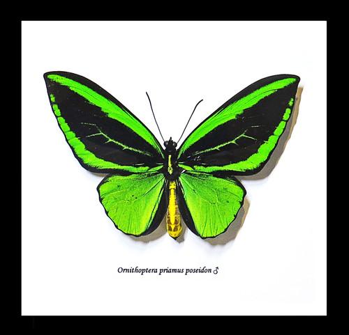 Ornithoptera priamus poseidon MALE Label
