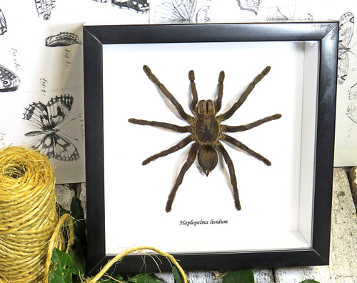 Spider for sale  arachnid Haplopelma lividum