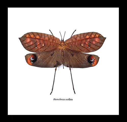 Pterochroza ocellata