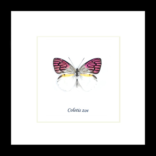 Colotis zoe