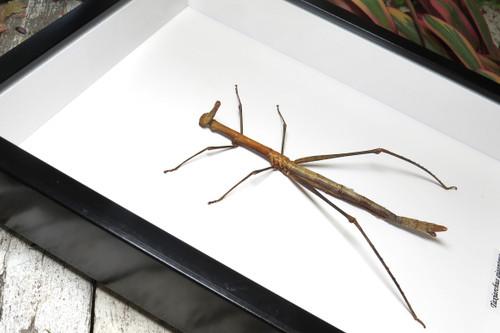 Taxiarchus giganteus