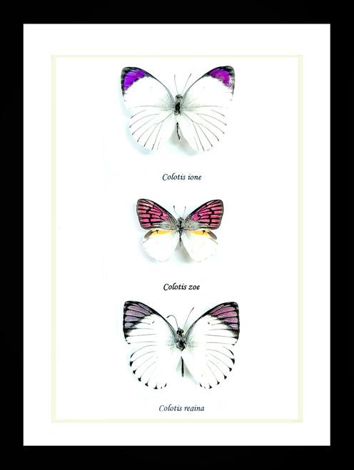 Colotis ione