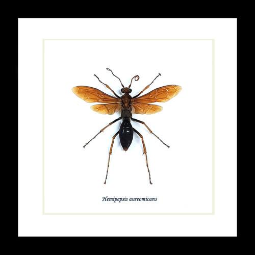 Hemipepsis aureomicans