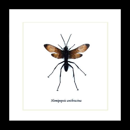Hemipepsis anthracina