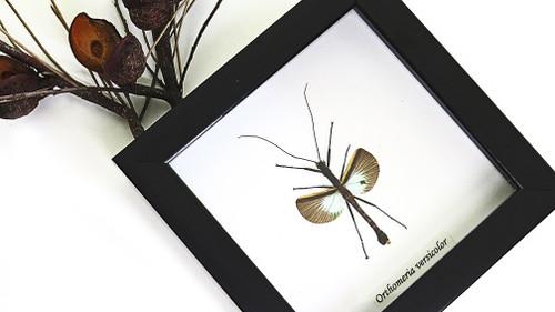 Orthomeria versicolor