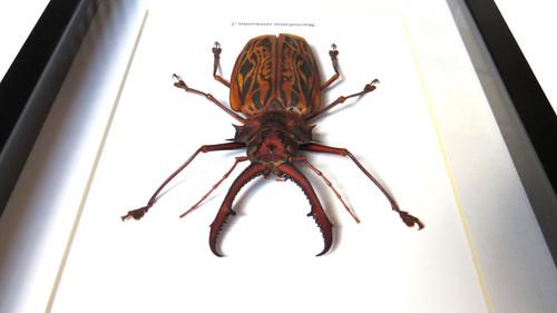 Macrodontia cervicornis  male  90mm