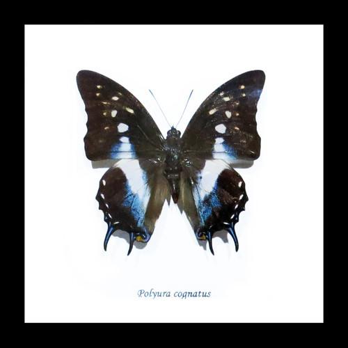 Real butterfly Polyura cognatus Bits & Bugs