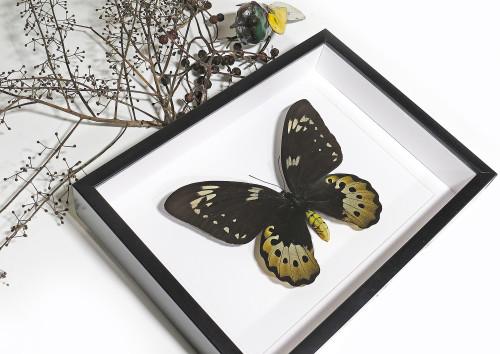 Ornithoptera goliath samson
