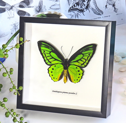 Ornithoptera priamus poseidon