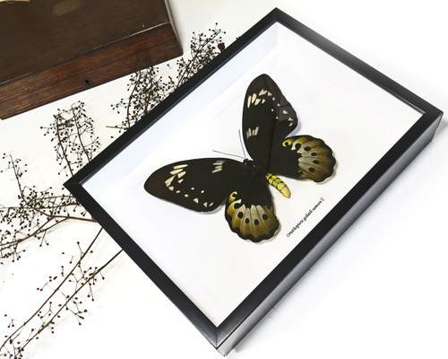 Ornithoptera goliath samson female