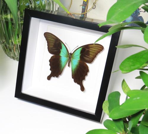 Papilio peranthus adamantius matt
