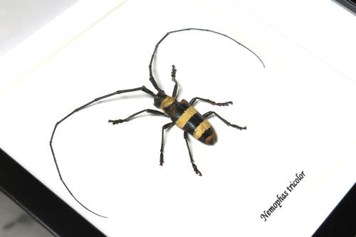 Nemophas tricolor male