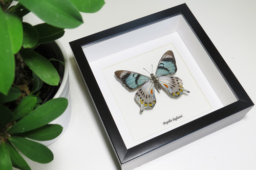 Papilio laglaizei ( not for sale )
