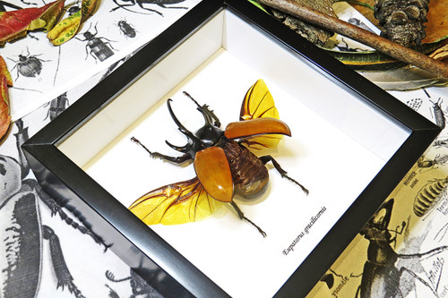 Eupatorus gracilicornis Rhinoceros beetle beetle insect taxidermy entomology bug