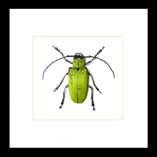 Beetles bugs insects Celosterna pollinosa framed beetle Bits & Bugs