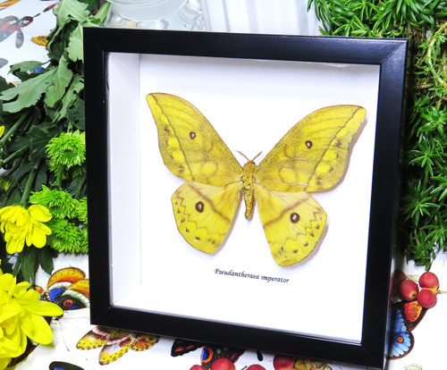 moth framed in shadowbox Pseudantheraea imperator bits & bugs