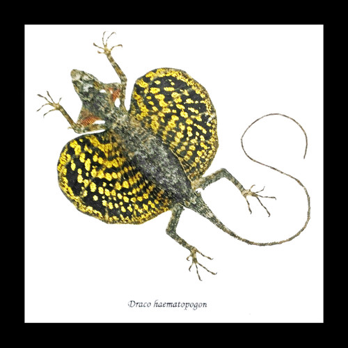 Lizards framed Draco haematopogon Bits & Bugs
