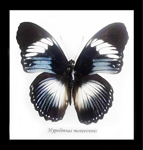 Real butterfly Hypolimnas monteironis Bits&Bugs