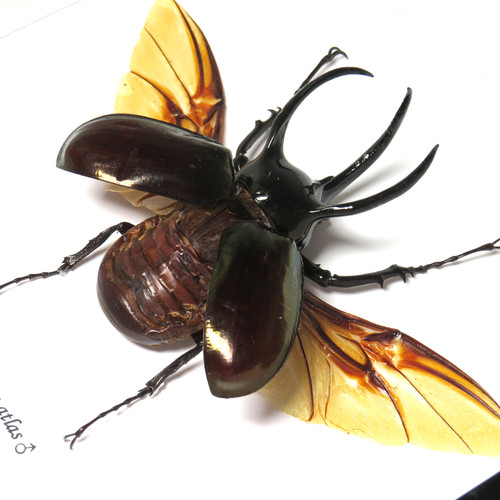 Rhino beetle real bug entomology specimen Chalcosoma atlas