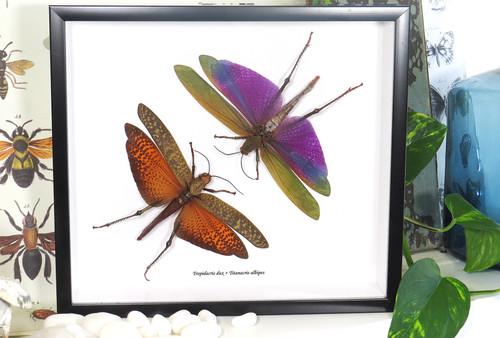 Tropidacris dux + Titanacris albipes