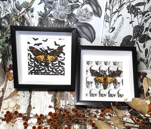 Acherontia atropos moth  Deaths Head Moth