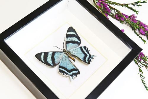 butterflies for sale Australia matt Bits&Bugs Alcides agathrysus