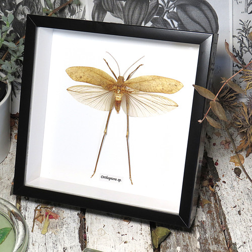 orthoptera real insect framed Bits & Bugs