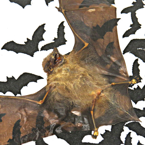 bat Tylonycteris robustula