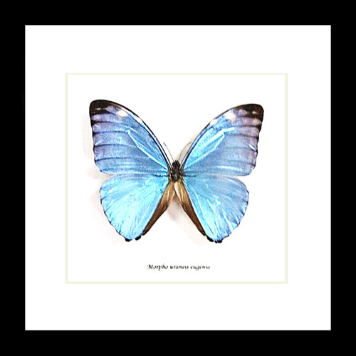 Taxidermy real butterflyMorpho eugenia Bits&Bugs