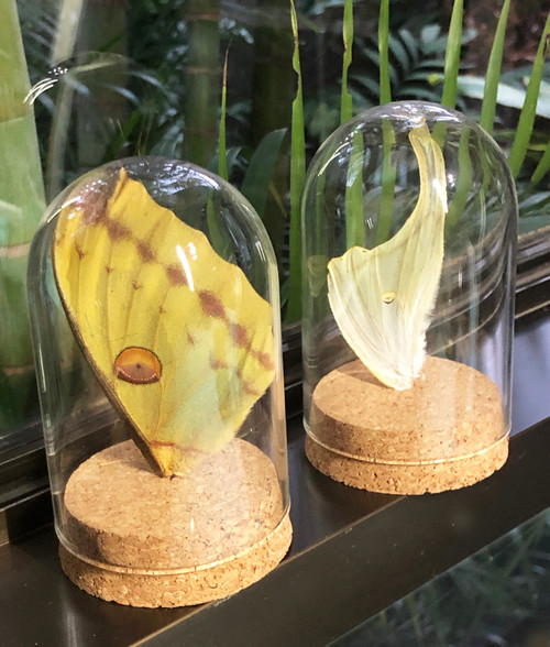 Real butterfly wings in mini dome # G ( set 2 )