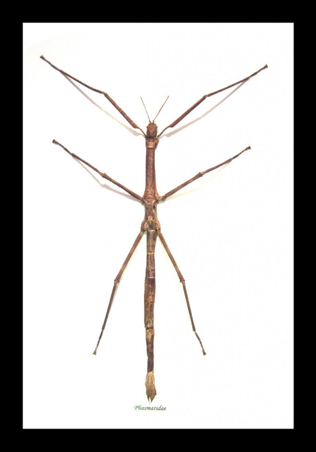 Australian stick insect