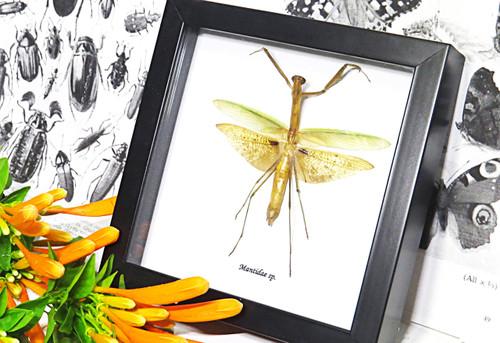 Mantid Praying Mantis Australian insect Bits & Bugs