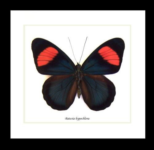 Batesia hypochlora label ft ( special )