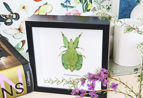 leaf insect bug taxidermy interiors Phyllium pulchrifolium bitsandbugs