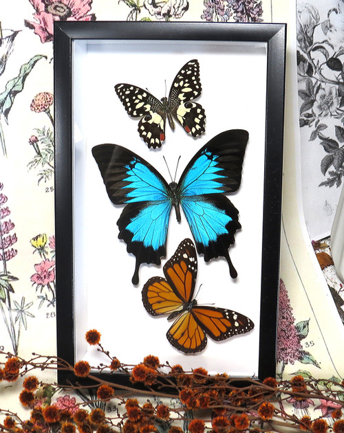 Australian butterflies B