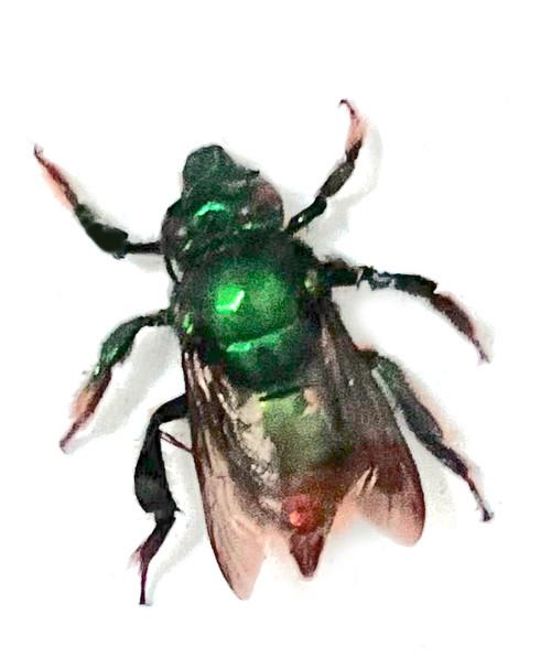 Euglossa Bee ( special )