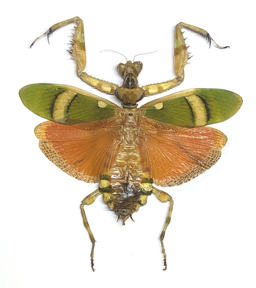 Theopropus elegans