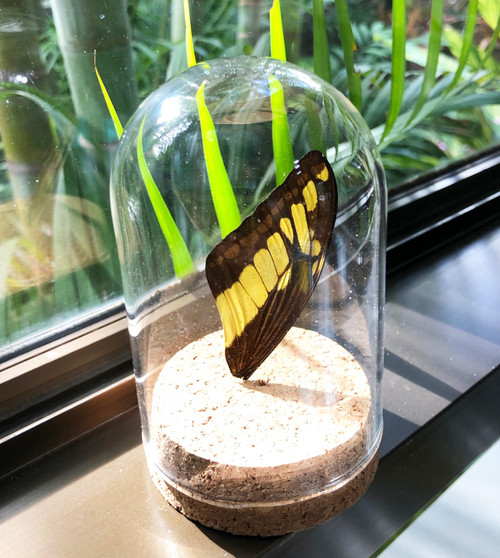 Real butterfly wing in mini dome Papilio thoas