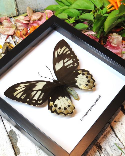 Ornithoptera priamus poseidon FEMALE