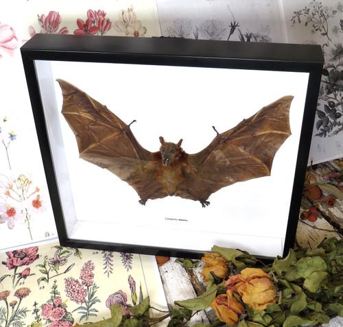 Cynopterus minutus bat