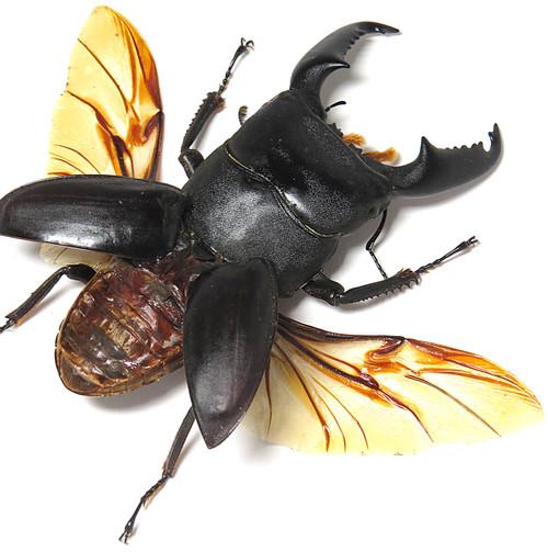 Dorcus titanus