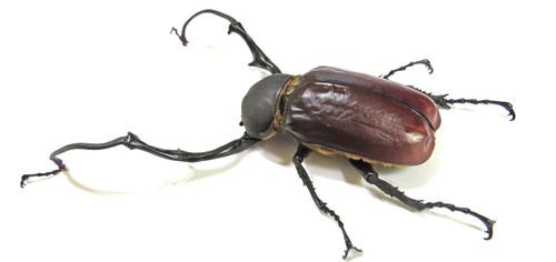 Euchirus longimanus