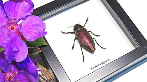 bugs beetles insects Euchroma gigantea Bits & Bugs