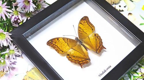 butterfly in shadowbox frame Bits & Bugs Vindula erota